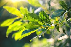 Laurel plant growing in a garden. Fresh organic laurel leaves. Herbs and spices, condiments, seasoning. Aromatic spice for cooking royalty free stock images