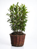Laurel plant in pot Royalty Free Stock Image