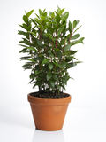 Laurel plant in pot Stock Image