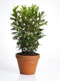 Laurel plant in pot stock image