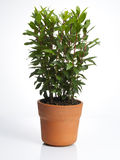 Laurel plant in pot Stock Images