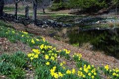 Laurel Ridge Daffodils Northfield Connecticut. Yellow daffodils blooming in a field at Laurel Ridge Daffodil Park Thomaston Connecticut stock image