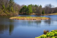 Laurel Ridge Daffodils Thomaston spring. A pond and small island in the springtime in new england covered in daffodils in Northfield Connecticut stock images