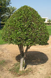 Laurel tree Royalty Free Stock Photo