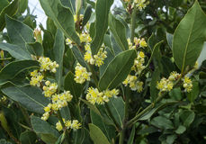 Laurel tree. Blossoms on the branches of laurel tree royalty free stock photo