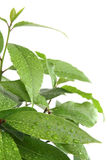 Laurel tree Stock Image