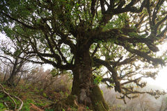 Laurel tree. Old laurel tree in a foggy forest on Madeira, Portugal stock image