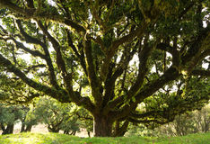 Laurel tree. Old laurel tree in a forest on Madeira, Portugal stock photo