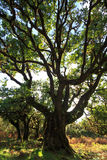 Laurel tree. Old laurel tree in a forest on Madeira, Portugal stock images