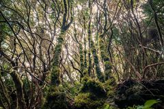 Laurel trees inside cloud forest, Tenerife.  stock image