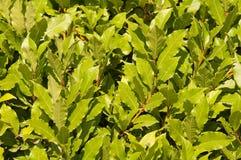Laureles nobles. Una hoja de laurel. Fotos de archivo libres de regalías