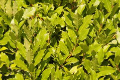 Laurels noble. A bay leaf. Green fence from a bush of noble laurels Royalty Free Stock Photos