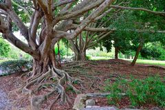 Laurels and their roots Stock Photo