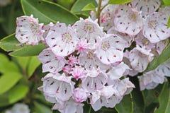 Laurier de montagne en fleur photos libres de droits