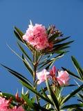 Laurier de Rose Photo libre de droits