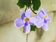 Laurifolia de Laurel Clockvine o del Thunbergia Foto de archivo libre de regalías