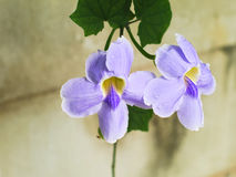 Laurifolia van Laurel Clockvine of Thunbergia- Royalty-vrije Stock Foto