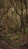 Laurisilva eller lagerskog av Anaga berg, Tenerife, kanariefågelöar arkivbilder