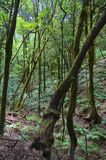 Laurisilva forest in La Gomera. Vertical image of the laurisilva forest of the island of La Gomera in the Canary Islands, Spain, magic, mountain, rain-forest stock images