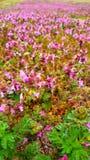 Laurium Purpureum/purpurroter Erzengel stockfoto