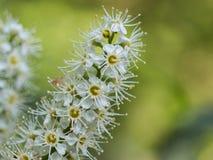Lauro ceraso di fioritura di prunus laurocerasus, alloro comune Immagini Stock