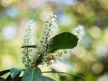 Lauro ceraso di fioritura di prunus laurocerasus, alloro comune Immagine Stock Libera da Diritti