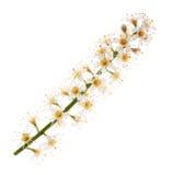 Lauro ceraso (prunus laurocerasus) Immagini Stock