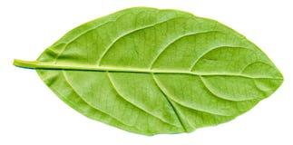 Laurocerasus叶子后面 免版税库存图片
