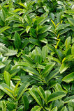 Laurocerasus Prunus Στοκ φωτογραφία με δικαίωμα ελεύθερης χρήσης