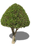 laurowy drzewo Fotografia Royalty Free
