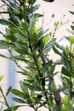 Laurowy drzewo Obraz Royalty Free