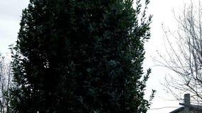Laurowy drzewo zbiory