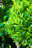 Laurus Stock Photos