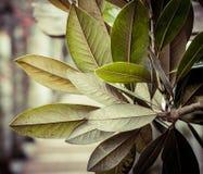 Laurus nobilis Fotografia Stock Libera da Diritti