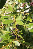 Laurus nobilis with his black fruits Stock Images