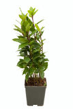 Laurus nobilis in vaso su backrgound bianco Immagine Stock Libera da Diritti
