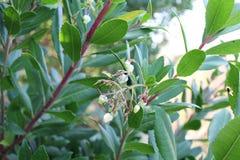Laurusnobilis, bloemen Stock Fotografie