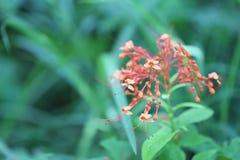 laurustinus Blume der Blüte der Angelika nicht schon im Regenwald lizenzfreie stockbilder