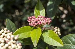 Laurustinus, Viburnum tinus Royalty Free Stock Images