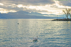 Lausanne quay of Geneva Lake and swan Royalty Free Stock Images