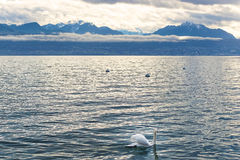 Lausanne quay of Geneva Lake and a swan Stock Photos