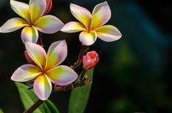 Lautes Summen der weißen Blume Stockfoto