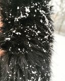 Lautes Summen des Pelzmantels mit Schnee stockfotos