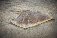 Lavé vers le haut de la pastenague morte sur la plage Photographie stock libre de droits