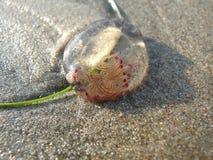 Lavé vers le haut de petites méduses rondes Photographie stock