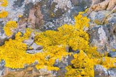 Lav av släktet Crustose lav på stenar royaltyfri fotografi