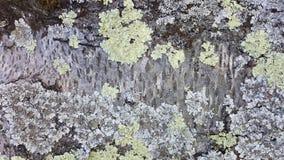 Lav som växer på trädet Royaltyfri Bild