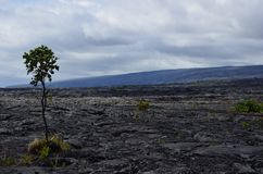 Scenic lava beds on Hilo. Lava beds in Hilo, Hawaii with a single tree growing out of it Royalty Free Stock Photo