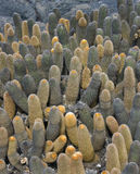 Lava Cactus - Brachycereus nesioticcus - Galapagos Stock Images