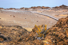 Lava cactus growing on Bartolome island in Galapagos National Pa royalty free stock photo